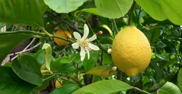Bergamot - Calabrian citrus fruit